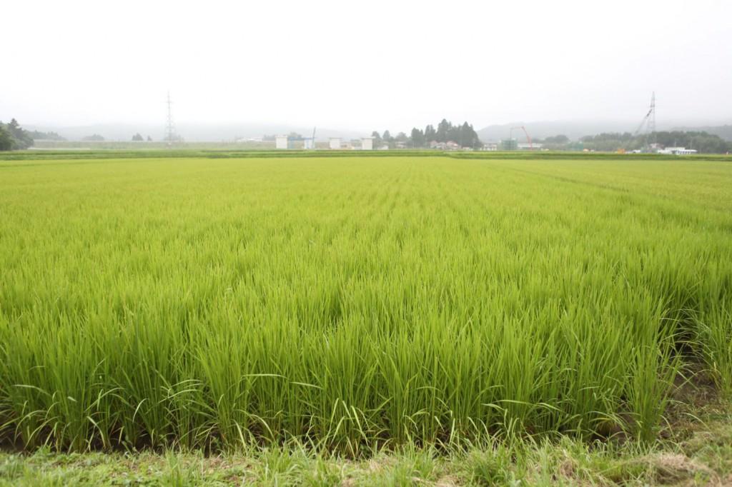 8月下旬の田んぼの風景