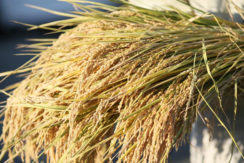 収穫された佐藤徹広さんのお米