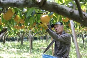 相馬市の田中果樹園にて。梨の収穫をする田中富士夫さん。