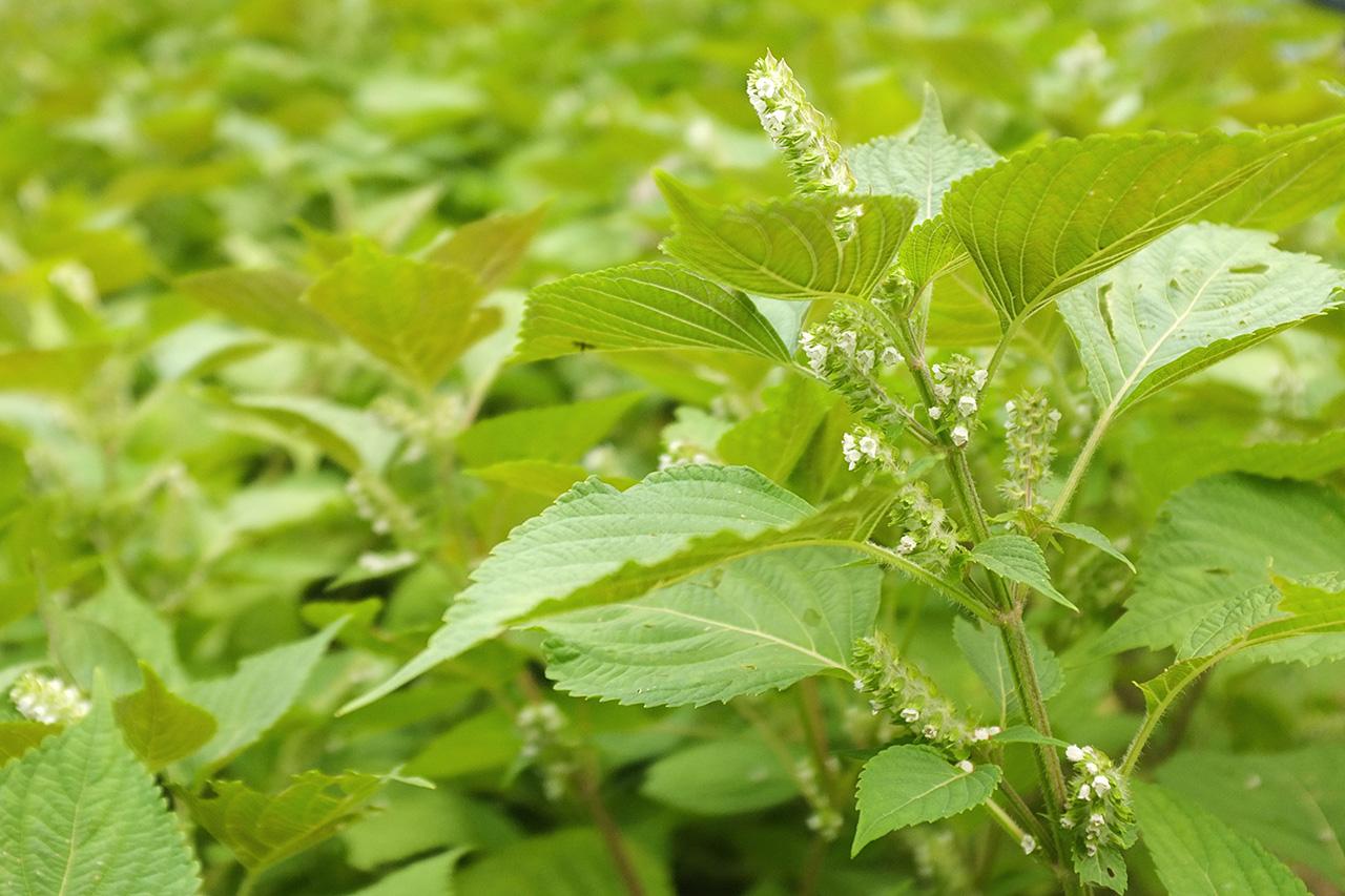 健康食材として注目を集めるシソ科の植物えごま