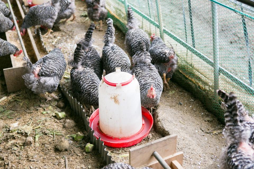 福島県相馬市にある大野村農園が手掛ける自然卵養鶏法によるブランド卵「相馬ミルキーエッグ」の鶏舎